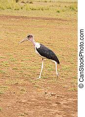 wandelende, savanne eenvoudig, amboseli, vrijstaand, marabou