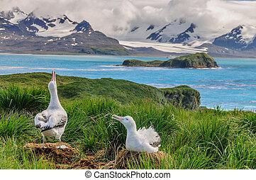 Wandering Albatross Couple on it's Nest - A Giant Wandering ...