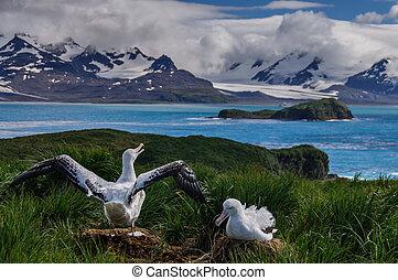 Wandering Albatross Couple raising wings. - The largest bird...