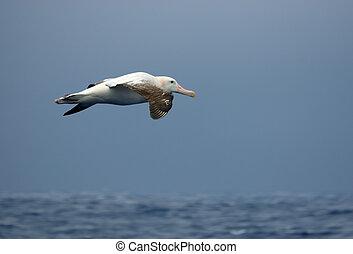 Wandering albatross in flight over the ocean.