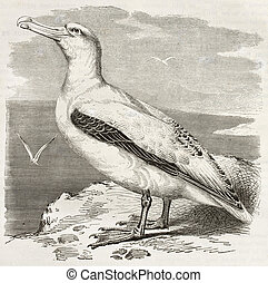 Wandering Albatross old illustration (Diomedea exulans)....