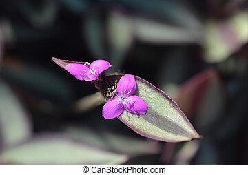 Wandering jew pink flower - Latin name - Tradescantia...