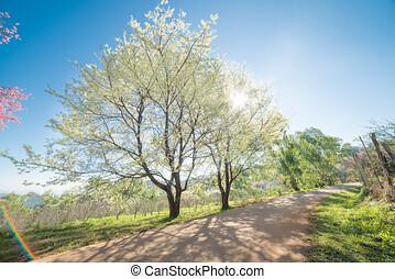 wang, fleur, cerisier, district, mae, sakura, chiangmai, thaïlande, blanc