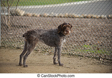 Wanting to play fetch - This German Wirehair Pointer is ...