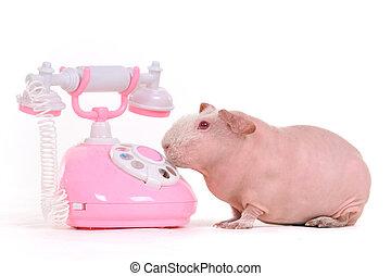 wants, elle, cochon inde, appeler, amis