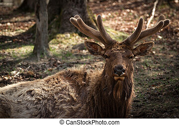Closeup image of a large Wapiti ( Elk ) buck with new antlers in early spring velvet. (Cervus canadensis)