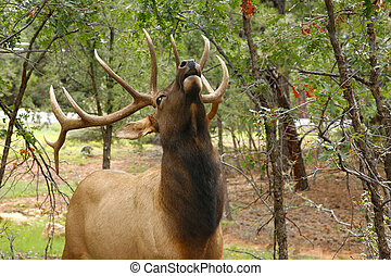 Wapiti Elk (Cervus elaphus) against in the Grand Canyon -...