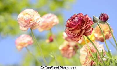 Warm color flowers - Warm color persian buttercup flowers in...