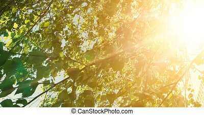 Warm color nature scene with leaves of tree and sun light with lens flare.