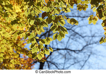 Warm green leafs on lime tree branch during autumn