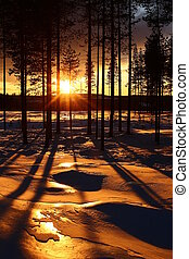 Warm image of pine trees in front of winter sunset in Vasterbotten, Sweden.