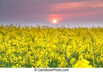 warm, sonnenuntergang, aus, gelber , rapeseed, blume