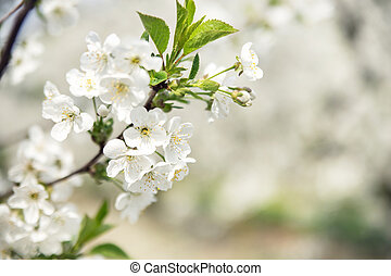 Warm spring in the apple orchard - Warm spring in the cherry...