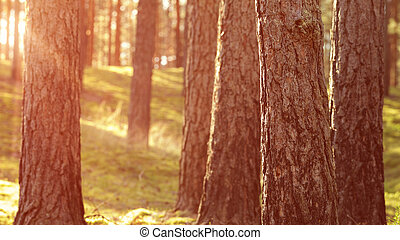 warm summer sunset in pine forest, nature background