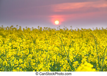 warm sunset over yellow rapeseed flower