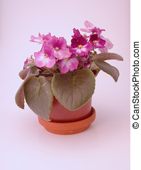 African Violet - warm-toned picture of an African Violet...