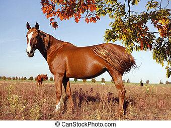 warmblood fox with blaze - brown horse warmblood fox with...