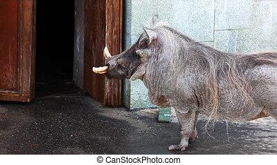 wart hog in zoo - warthog in zoo