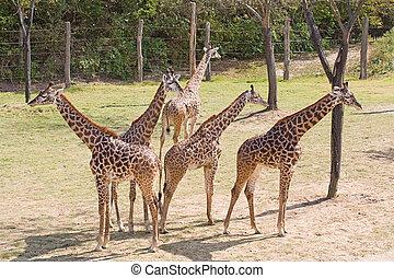 warte, junger, giraffen