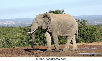 warthog, éléphant africain