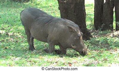 Warthog in Chobe National Park, Botswana