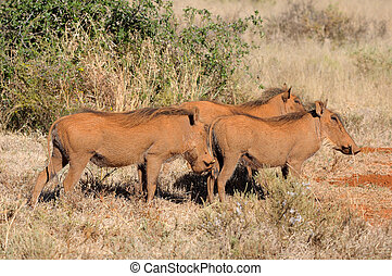 Warthog colored red by mud