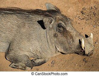 warthog, dire bugie, su, uno, sabbia