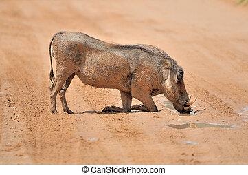 Warthog drinking water