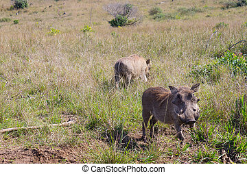 warthog from South Africa, Isimangaliso Wetland Park -...