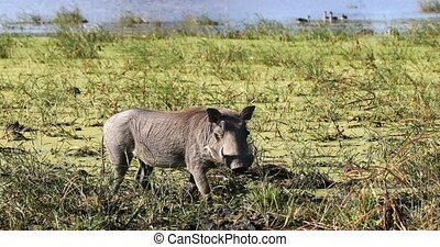 Warthog in Moremi, Botswana Africa safari wildlife