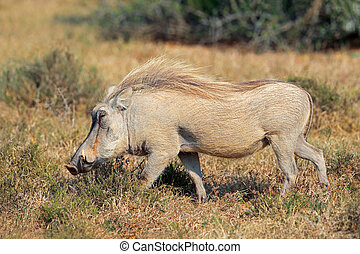 Warthog in natural habitat