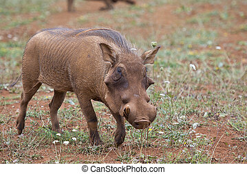 Warthog in the savannah - Closeup from a warthog gracing in ...