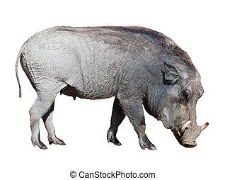 Warthog. Isolated on white