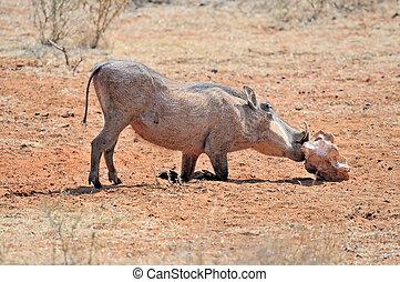 Warthog licking salt block