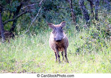 warthog, mirar fijamente