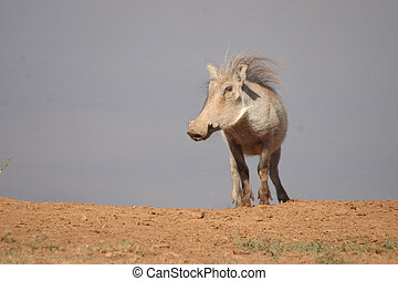 Warthog on top of the World