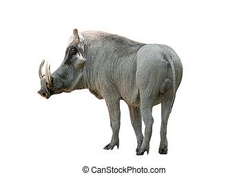 warthog on white background