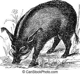 Warthog or Wart-hog or African Lens-Pig or Phacochoerus africanus, vintage engraving. Old engraved illustration of a Warthog.