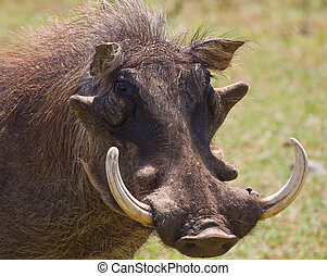 Warthog portrait with huge tusks in the sun