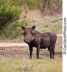 Warthog wet with mud