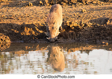 Warthog with big teeth drink from waterhole
