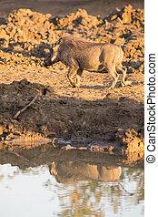 Warthog with big teeth drink from waterhole