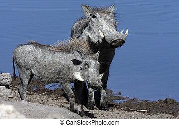 Warthogs - Namibia
