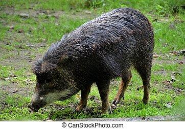 warty, schwein