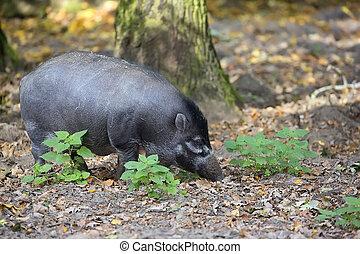 warty, wald, visayan, schwein