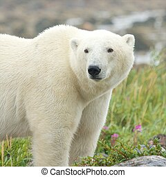 Wary Polar Bear in the grass 2
