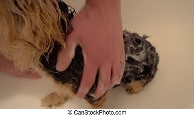wash a Yorkshire Terrier. Care for dogs in grooming salons.