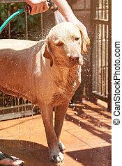 Washing cute labrador dog