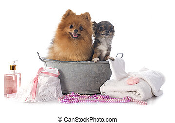 washing spitz and chihuahua in front of white background