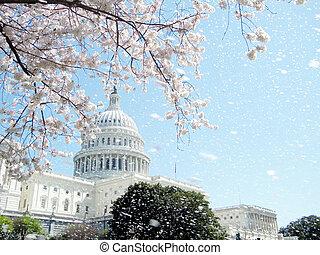 Washington Capitol rain of cherry blossoms April 2010